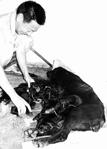 狗妈妈一胎产下17狗崽 主人每日炖鸡汤慰劳